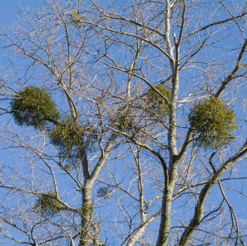 Mistletoe: Parasite or Treasure? | Mistletoe's Effect on Trees